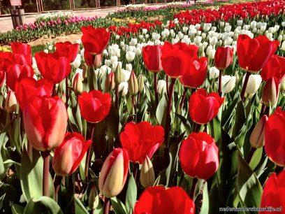 Tulpen Festival Istanbul Turkije