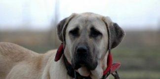 Anatolische honden gaan musea bewaken